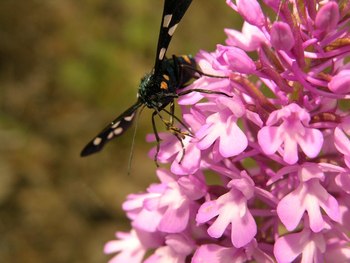 Orchidaceae (Orkidegiller)